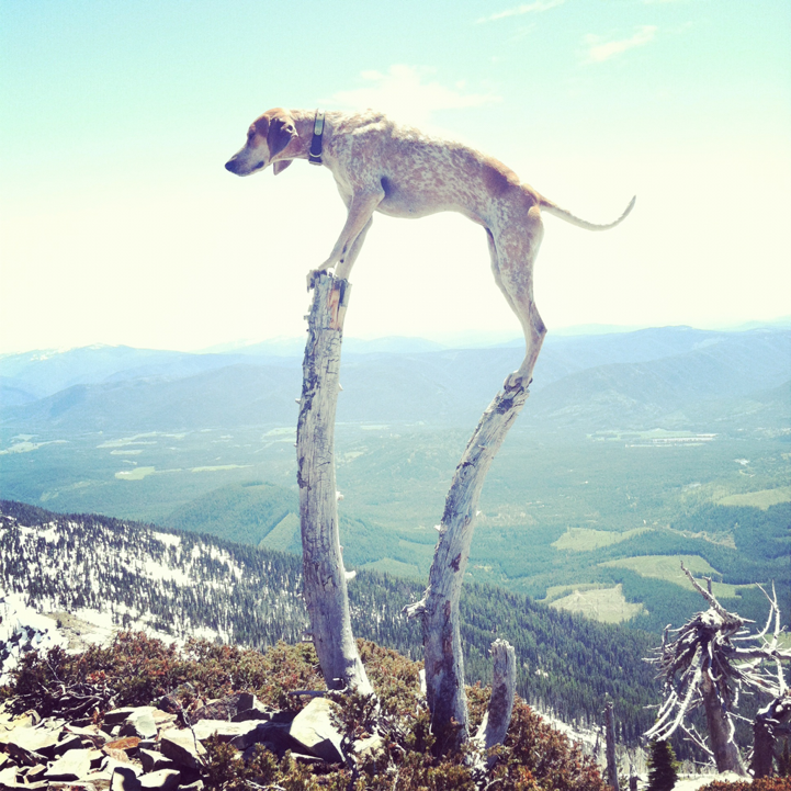 creepicrawlies:  Maddie the Coonhound Standing On Things