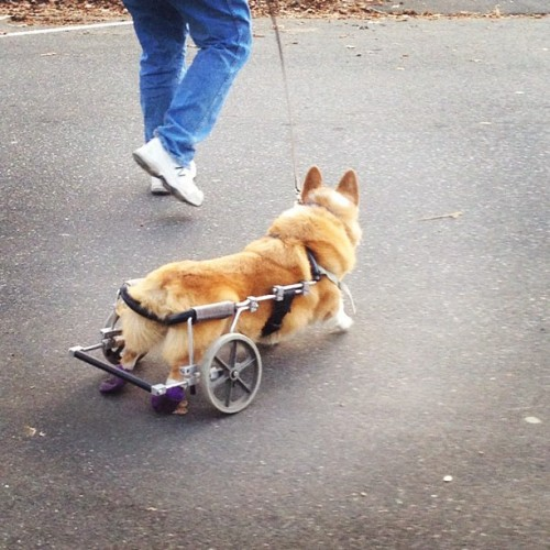 if you saw a corgi in a wheelchair on the street I'm pretty sure you'd instagram it, too.