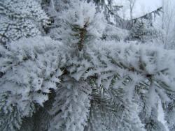 tjjaschika:  Some beautiful ice crystal formation on a fir. Shot at the surrounding area of St. Andreasberg (Harz, Germany)