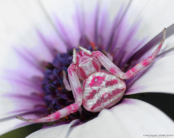adorablespiders:  a beautiful crab spider