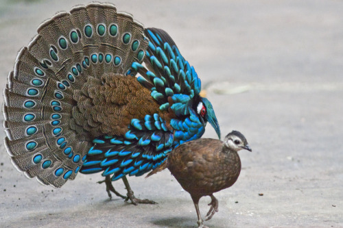 lungmachine:  astronomy-to-zoology:    Palawan Peacock-Pheasant (Polyplectron napoleonis) is a pheasant of the family (phasianidae). they can be found on a single island in the Philippines, Palawan island (thus the name). they are a medium size bird growing up to 50cm long, their most distinguishing characteristic is their plumage, as they have highly iridescent blue feathers on their backs and with peacock like ocelli on their tail feathers (thus the name peacock pheasant. females are smaller than the male and are less colorful. (as the male uses his plumage for mating). due to habitat loss, hunting and limited habitat range they are listed as Vulnerable by the IUCN. Phylogeny Animalia-Chordata-Aves-Galliformes-Phasianidae-Argusianinae-Polyplectron   HOW DID I NOT KNOW ABOUT THIS FUCKING BIRD OH MY GOD