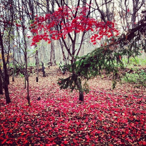 #japan #hokkaido #red #紅葉 #autumn #tree #wood #instagood #iphonesia#iphoneonly #instagramhub #instamood #outdoors #beautiful #photooftheday #picoftheday#instadaily #bestoftheday #webstagram #instagramers