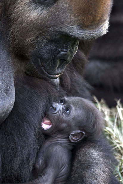 funnywildlife:  A newborn gorilla, named Ameli, rests in the arms of her mother, Anya, at the Ramat Gan Safari, an open-air zoo near Tel AvivPicture: JACK GUEZ/AFP/Getty Image
