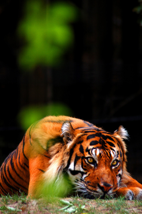 undergroundairway:  Tiger by vancityallie on Flickr.