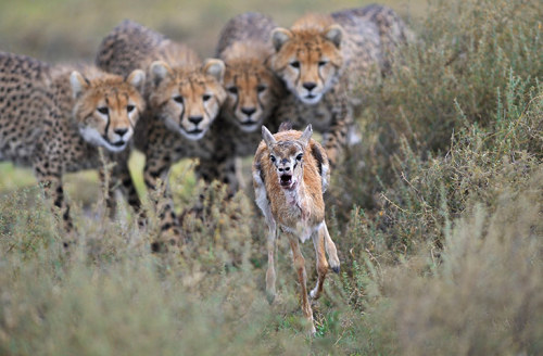 Incredible photo of young cheetahs and an unlucky Thomson's gazelle fawn. Grégoire Bouguereau, 2012 GDT European Wildlife Photographer.