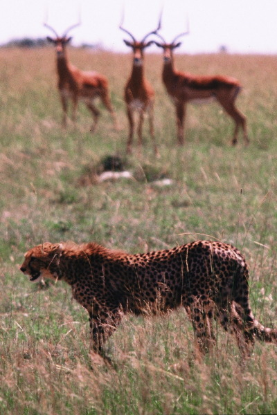 imawalkingdisasterrr:  r2—d2:  Cheetah and Impala Dinner
