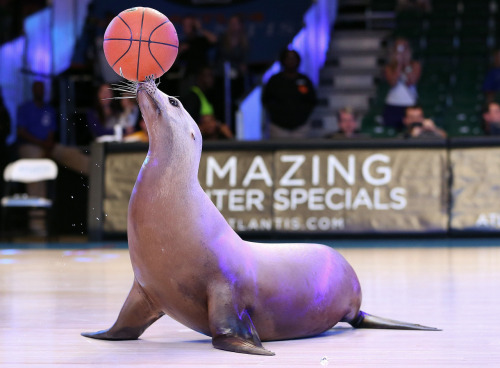 The Battle 4 Atlantis has been won. (By this sea lion.) College basketball on USA TODAY Sports