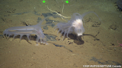 Sea Pigs (Scotoplanes sp.), a species of deep sea benthic sea cucumber, crawling along the seafloor (2324m) Endeavour Ridge, RCMNorth, with a brittlestar, in the mud. (photo: Neptune Canada)