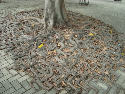 shinimasu:  A tree's root system merges with a brick walkway