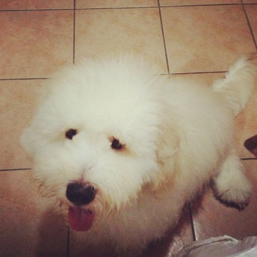 rrrachul:  The Mighty Thor 💪  Obsessed with this adorable goldendoodle!