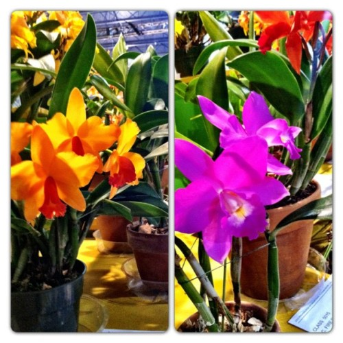 #orchids on display and up for awards #flowershow 2012 #philly