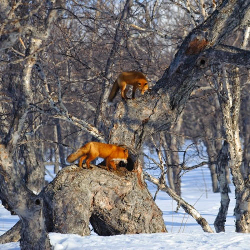 llbwwb:  Tree climbing Foxes by Sergey Gorshlov.