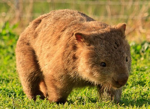 Wombats. My new faves.