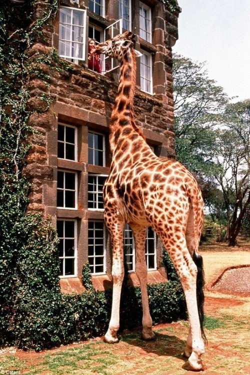 how cool would it be to have a pet giraffe