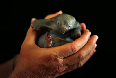 ontheroadagain2:  Beau, a 55-day-old echidna, in the hands of a vet nurse at Taronga zoo in Sydney. The baby animal was rescued by hikers after it was found abandoned on a bushwalking track near Newcastle in New South Wales