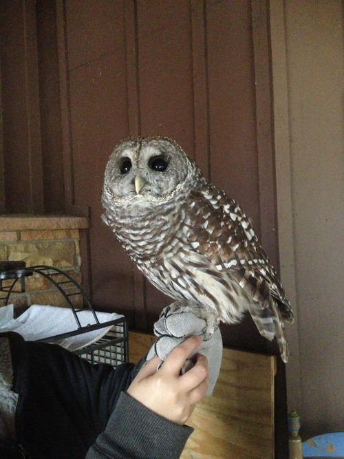 daily-owls:  A barn owl the local park ranger owns. It's a rescue, so it's blind and cannot fly, but it's still very loving.
