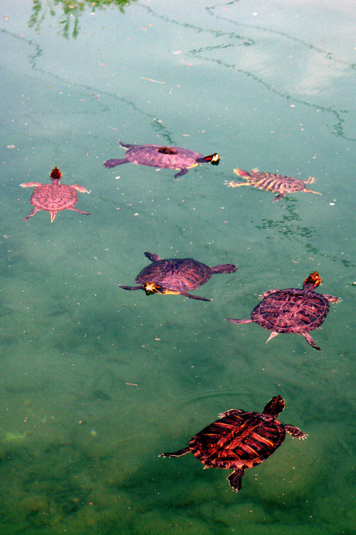infinityc0re:  mer-de:  thEY LOOK LIKE LEAVES TURTLE LEAVES  ~