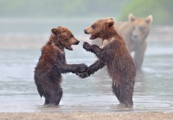 bearonbears:  Bears. They are just like us. Playing paddy cake