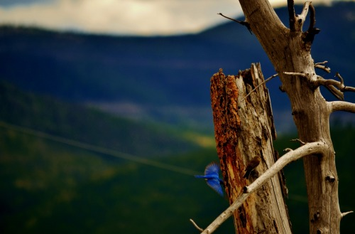 pragmatic-wolf:  mountain bluebird in montana