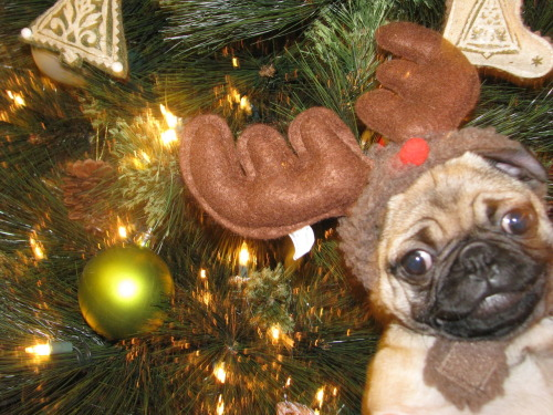 mugsofpugs:  Lucys first christmas is coming up… and she smiles for pictures now… ohemgeereally