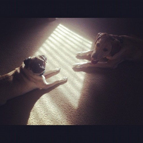 They are so cute #dogs #pug Stewie and Brooklyn