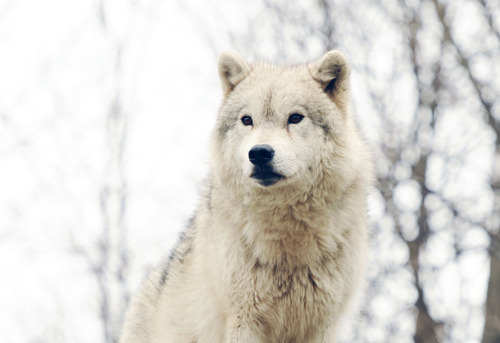 t0ws:  first wolf reblog ever