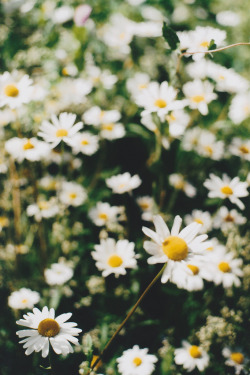 21vines:  Summer daisies (by jennifée)
