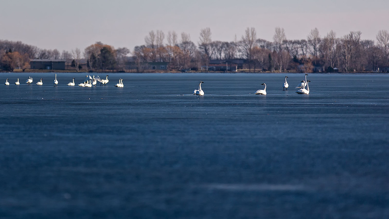 These swans on a frozen Minnesota Lake seem a bit confused now that their water world has turned to ice.