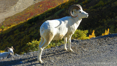 Wildlife - Animal - Dall Sheep in Denali National Park by blmiers2 on Flickr. Outdoor Sporting Goods