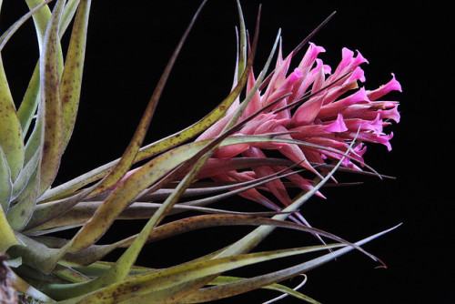 Tillandsia geminiflora 2008 - II3 by Luiz Filipe Varella on Flickr.