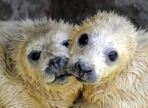magicalnaturetour:  Gray seal pups (Carsten Rehder / EPA) :)