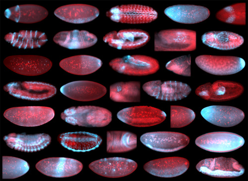 biocanvas:  Early embryos from the fruit fly, Drososphila melanogaster, depicting mRNAs in blue and nuclei in red as visualized with fluorescence in situ hybridization (FISH) technology. Image by Eric Lécuyer and Henry Krause. Congratulations, riotglitterdust, for being the first to correctly answer this week's question! Make sure to check out their blog!