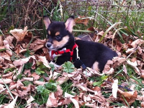 Boe is one regal puppy.  He sits on his throne of leaves and looks out over his vast kingdom.