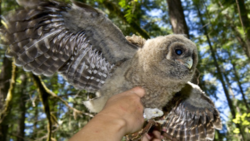 Owl feathers could inspire quieter planesResearchers found that owl wings are especially quiet because their trailing-edge feathers are flexible and porous, allowing some air through.