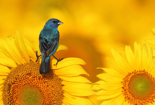 Indigo Bunting on Sunflower by mike o1 on Flickr.