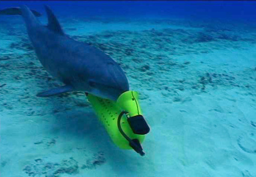 Navy To Replace Military Dolphins With Knifefish Drones  The Navy has now set its sights on the Knifefish, named for the freshwater fish that images objects using electric fields. At 19 feet (5.8m) and 1700 pounds (770kg), the torpedo-shaped drone is much larger than the Seafox and will greatly extend its capabilities. It is powered by lithium-ion batteries and can remain active for up to 16 hours, giving it a much longer range. It also uses a low-frequency synthetic aperture sonar that can penetrate beneath a soft sea floor. The Knifefish will be able to tell actual mines from other submerged debris with better accuracy. Mines will be able to be fingerprinted in real time by using resonance patterns obtained during imaging and comparing them to known signatures. Eight units will be jointly built by General Dynamics and Bluefin Robotics, at a total cost of $20 million. Naval divers will still carry out many mine clearing operations themselves, but drones will reduce dive frequency and associated risk.  (via US Navy finally starts replacing killer dolphins with mine-hunting Knifefish drones | ExtremeTech)