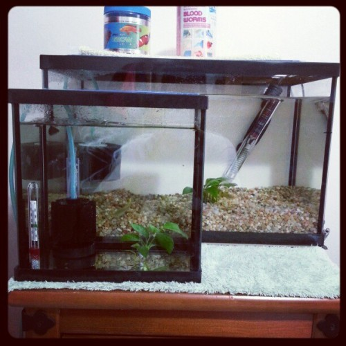 Two fish tanks for my guppies. Smaller tank has the babies. #fish #hobby #guppies #fishaddict