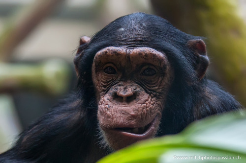 id-rather-be-free:   Chimpanzé (by mitchphotospassion)