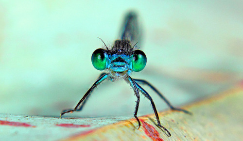 Blue Dragon Fly | Flickr - Photo Sharing!flickr.com
