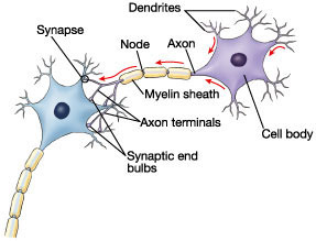 structure of a neuron…