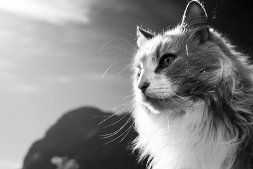 siri-ously:  My cat, Fræs, in Lofoten.