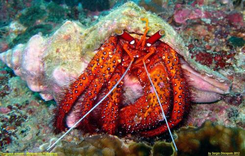 "Dardanus is a genus of hermit crabs belonging to the Diogenidae family, containing several species. The decapods or Decapoda (literally ""ten-footed"") are an order of  crustaceans within the class Malacostraca, including many familiar groups, such ascrayfish,  crabs,  lobsters, prawns and shrimp. Most decapods are scavengers. The order is estimated to contain nearly 15,000 species in around 2,700 genera. As the name Decapoda (from the Greek δέκα, deca-, ""ten"", and πούς / ποδός, -pod, ""foot"") implies, all decapods have ten legs. These are in the form of five pairs of thoracic appendages on the last five thoracic segments. The front three pairs function as mouthparts and are generally referred to as maxillipeds; the remainder are pereiopods. In many decapods, however, one pair of legs has enlarged pincers; the claws are called chelae, so those legs may be called chelipeds. Further appendages are found on the abdomen, with each segment capable of carrying a pair of biramous pleopods, the last of which form part of the tail fan (together with the telson) and are called uropods. The Malacostraca are the largest class of crustaceans and more evolved. There are two families of crabs: the Diogenidae family, with claws equal or more developed than the left, and Paguridae with claw right largest. The hermit crab is represented by hundreds of species founds in all seas. Unlike his peers such as crabs and shrimp, the hermit crab is not protected by the carapace and his abdomen is soft. So, he is forced to live, practically from birth, inside dead shells. Like all crustaceans, hermit crabs grow to make wetsuits. However this is not sufficient for them, because their growth is necessarily bound to the type of refuge they can find: to be able to increase in size, in fact, must often change shell, choosing, possibly, larger ones and light. The lightness of the shell is still a parameter that considered with caution, because the thinner shells are easier to carry but also easier to be crushed by a possible predator. The volume of the structures is instead a particularly important parameter for females during the breeding season, as it often determines the number of eggs they may release. Are not rare cases where the hermit crabs cover their ""home"" with camouflage structures or defense, such as sponges and coelenterates. This particular coexistence between species is called symbiosis. In particular, the coexistence between the sponge and the crab provides benefits to both: the stinging cells  protect the crab from enemies, while the sea anemone can get scraps of food that the his host disperses in the water and move using the movement of the hermit crab (usually the sea anemones live in a fixed point). Sometimes this coexistence is so driven, that some species of hermit crab can live only with certain species of sea anemones. The dimensions of the hermit crab are limited and, however, vary with the species. For example, the Pagurus arrosor is about 80 mm long."