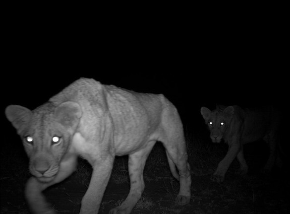 fastcompany:  Wild animals caught on camera — hidden camera.