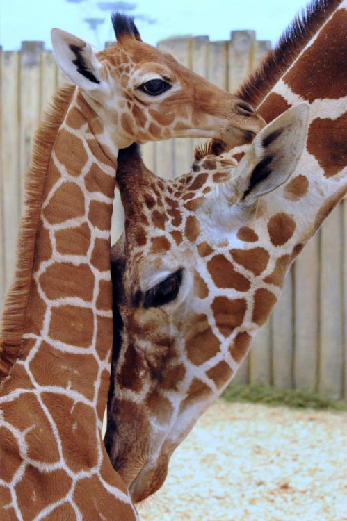 Good morning! Here's a reticulated giraffe calf to get your day off to a good start. He was born November 12 at the Brookfield Zoo in Illinois and doesn't have a name yet. Bonus baby-giraffe video (skip ahead to :46 if you're busy):  Photo: Jim Schulz / Associated Press. Video via the Brookfield Zoo's YouTube channel