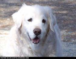 "Toby, my ""puppy"" lived until he was 16 and a half years old. He past away in July of 2011. He turned completely white at 10 years old from his golden color. He was the best thing that ever happened to me Submitted by Karmen Y Original Article"