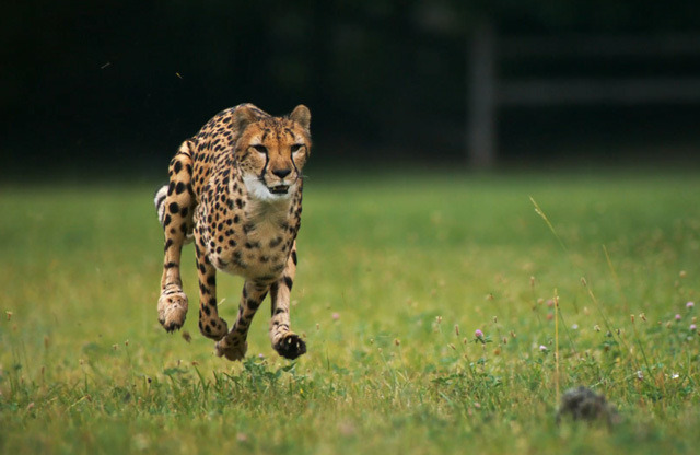 laughingsquid:  Cheetahs Running in Super Slow Motion