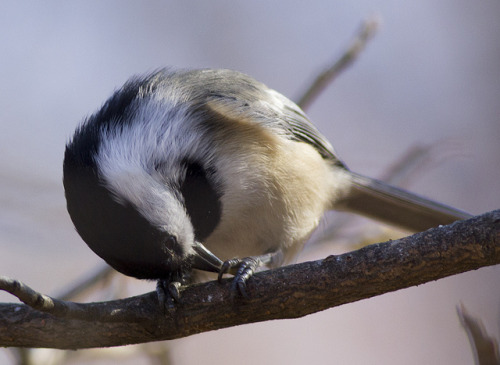 chickadee by zenbikescience on Flickr.