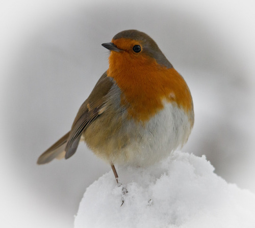 Robin by jezzajeff on Flickr.