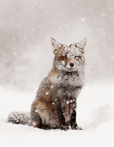 I can't wait to try & spot one of these cute little guys in the snow this year. Here's hoping my dog doesn't scare this sly little creature away. -Cory U