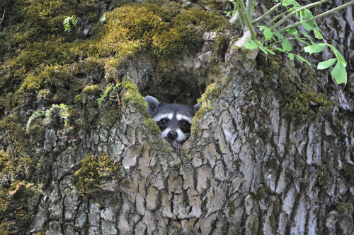 only1000steps:  I was startled when I saw this raccoon staring at me. I was in a wooded area looking for resident owls when suddenly I turned and saw this cute raccoon watching me from the safety of his tree cavity.